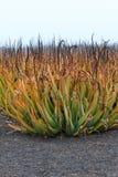 Plantación de la planta medicinal de Vera del áloe en las islas Canarias Fotos de archivo libres de regalías