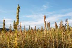 Plantación de la quinoa (chenopodium - quinoa) Foto de archivo libre de regalías