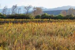 Plantación de la quinoa (chenopodium - quinoa) Imagenes de archivo
