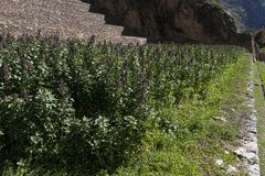 Plantación de la quinoa en Perú fotos de archivo
