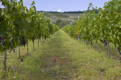 Plantación de la uva Foto de archivo libre de regalías