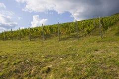 Plantación de la uva Imagenes de archivo