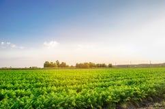 Plantación de la zanahoria en el campo Paisaje hermoso Agricultura farming fila vegetal Día asoleado agricultu respetuoso del med imágenes de archivo libres de regalías