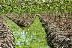 Plantación de las uvas en canal Fotos de archivo libres de regalías