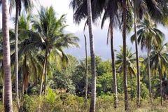 Plantación de los árboles de coco Granja Isla de Palawan Imagenes de archivo