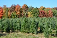 Plantación de los árboles de navidad Fotos de archivo libres de regalías