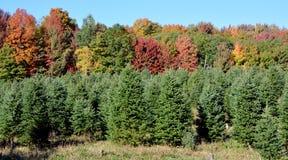 Plantación de los árboles de navidad Foto de archivo