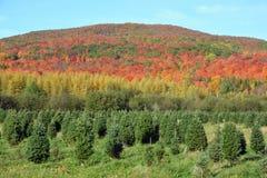 Plantación de los árboles de navidad Foto de archivo libre de regalías