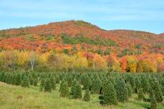Plantación de los árboles de navidad Fotografía de archivo