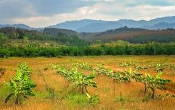 Plantación de los árboles de plátano Fotografía de archivo
