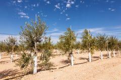 Plantación de los olivos Foto de archivo libre de regalías