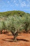 Plantación de los olivos Fotos de archivo libres de regalías