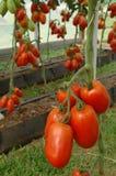Plantación de los tomates Fotografía de archivo