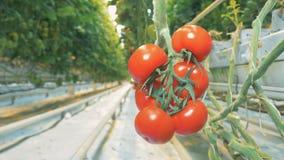 Plantación de los tomates que crecen en un invernadero con un racimo de tomates suaves almacen de metraje de vídeo