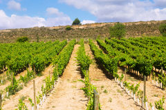 Plantación de los viñedos fotos de archivo