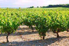 Plantación de los viñedos en día de verano soleado imagen de archivo libre de regalías