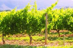 Plantación de los viñedos en día soleado Foto de archivo libre de regalías