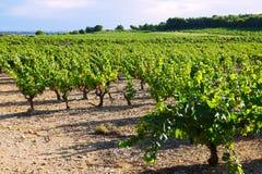 Plantación de los viñedos en día soleado foto de archivo