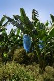 Plantación de plátano el Camerún imágenes de archivo libres de regalías