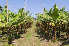 Plantación de plátano en Taiwán imagenes de archivo