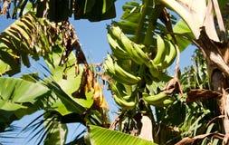 Plantación de plátano, isla de Ometepe, Nicaragua Imágenes de archivo libres de regalías