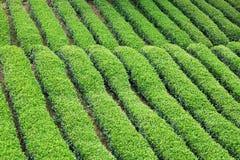 Plantación de té Fotos de archivo libres de regalías