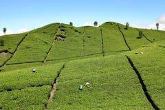 Plantación de té Foto de archivo
