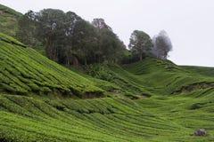 Plantación de té fotos de archivo