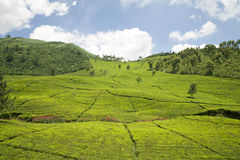 Plantación de té imagen de archivo