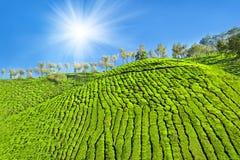 Plantación de té Imágenes de archivo libres de regalías