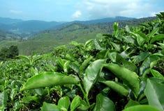 Plantación de té imagen de archivo libre de regalías