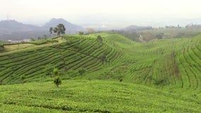 Plantación de té alrededor de Bandung almacen de metraje de vídeo