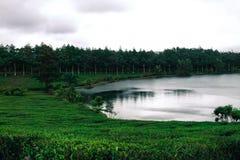 Plantación de té alrededor de un lago Foto de archivo
