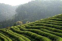 Plantación de té asiática Imagenes de archivo