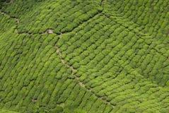 Plantación de té, Cameron Highland Foto de archivo libre de regalías