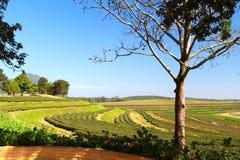 Plantación de té con el cielo azul Fotografía de archivo