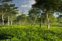Plantación de té con el volcán de Arjuno en el backround Fotografía de archivo libre de regalías