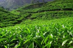 Plantación de té con las hojas frescas verdes fotografía de archivo