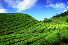 Plantación de té de Bahrat Imagen de archivo libre de regalías