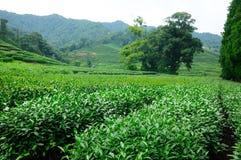 Plantación de té de Meijiewu Longjing Foto de archivo