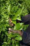 Plantación de té el Camerún fotografía de archivo libre de regalías