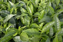 Plantación de té el Camerún fotos de archivo