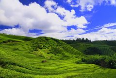 Plantación de té en Cameron alto Foto de archivo libre de regalías