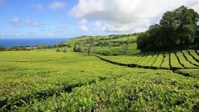 Plantación de té en Cha Gorreana, Maia, San Miguel, Azores almacen de video