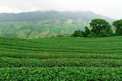 Plantación de té en Chiang Rai, Tailandia Imagen de archivo libre de regalías