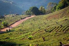 Plantación de té en Doi Mae Salong imagen de archivo