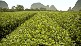 Plantación de té en Guilin Fotos de archivo libres de regalías