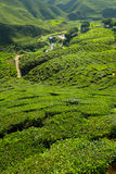 Plantación de té en la montaña - Cameron Highlands Fotografía de archivo libre de regalías