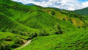 Plantación de té en las montañas de Cameron, Malasia imagenes de archivo