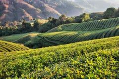 Plantación de té en luz del sol de la mañana Foto de archivo libre de regalías